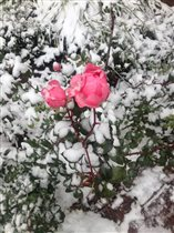 Снежный аромат роз