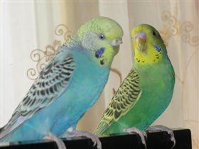 Семья попугайчиков