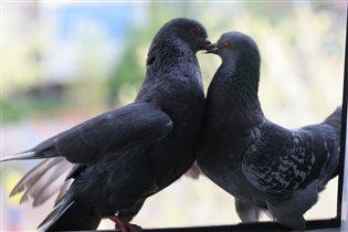 ...голуби целуются