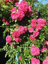 Роза розовая, плетистая