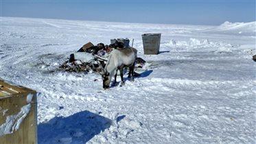 Северный олень поджирает пищевые отходы
