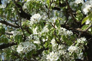 Яблони в цветы