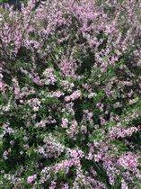 цветение миндаля