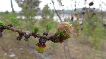 а вы видели как цветет лиственница?