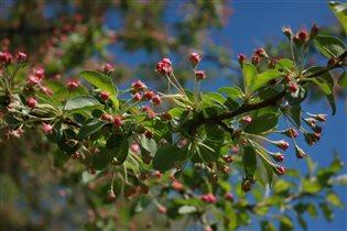 Расцветает яблонька