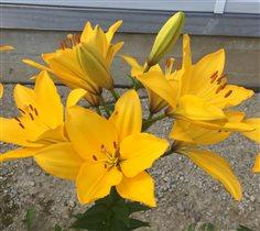 Лилии от Хелен Сан бо солей