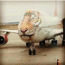 Амурский тигр в гостях у аэропорта Кольцово
