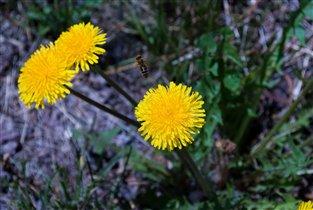 Маленькие солнышки и пчела!))).