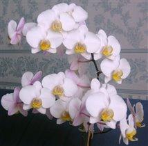 моя любимая орхидея