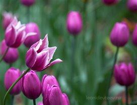 Готовимся к весне. ;) Тюльпаны
