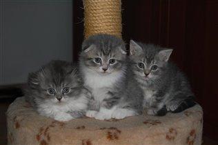 Продаю шотландских котят.