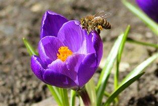 Первые цветы посетили первые в этом году   пчелки.