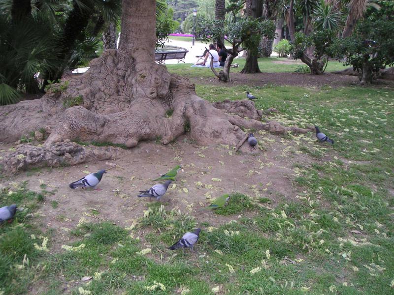 Попугаи среди голубей