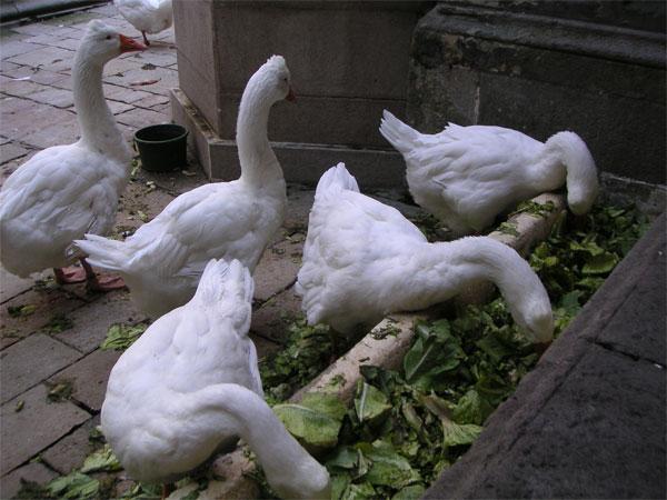 Барселонские гуси
