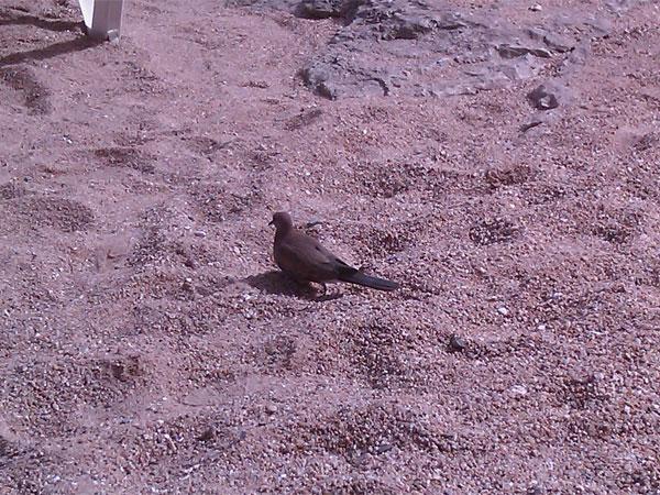 египетский голубь