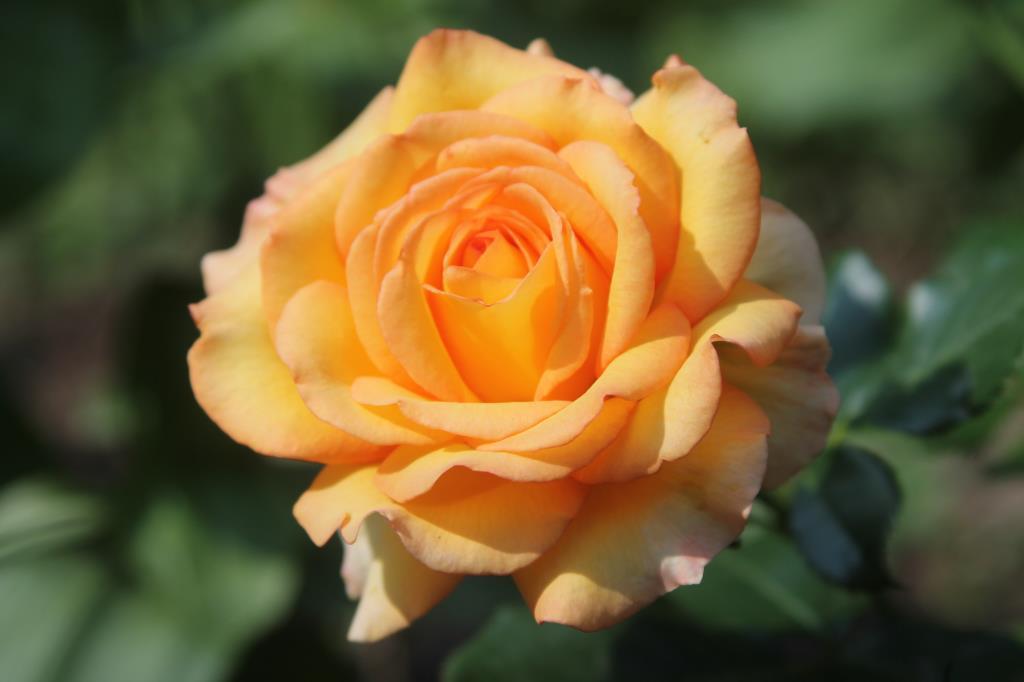 Букет цветов из 55 роз тебе дарю родная земля оптом 100
