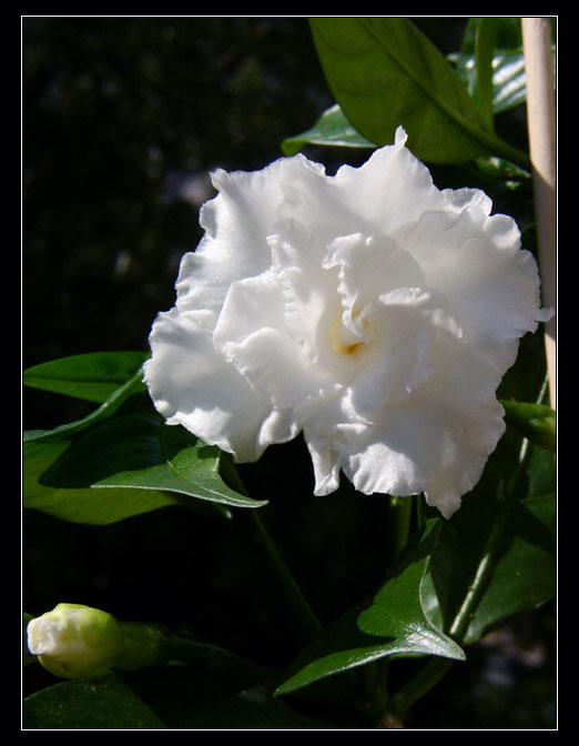 Табернемонтана. Цветы у меня дома