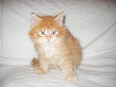 мой кунчик Манго.  Котята