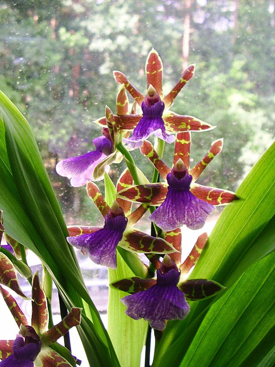 орхидея фото цветов и названия сорта шелкография