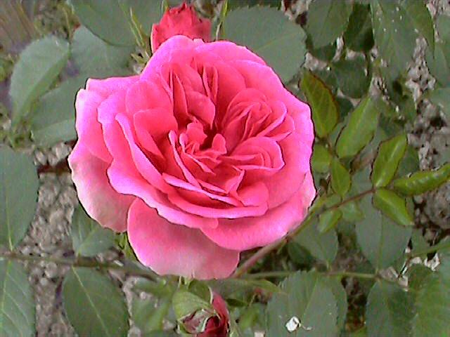 Роза парковая (Германия).