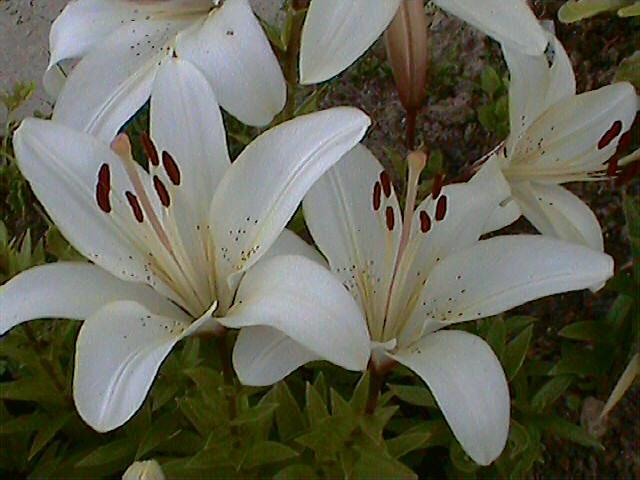Лилия белая - азиатский гибрид.