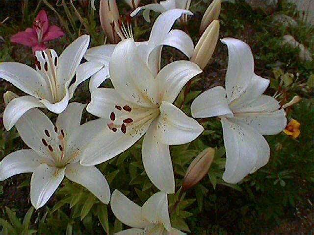 Лилия белая 2.