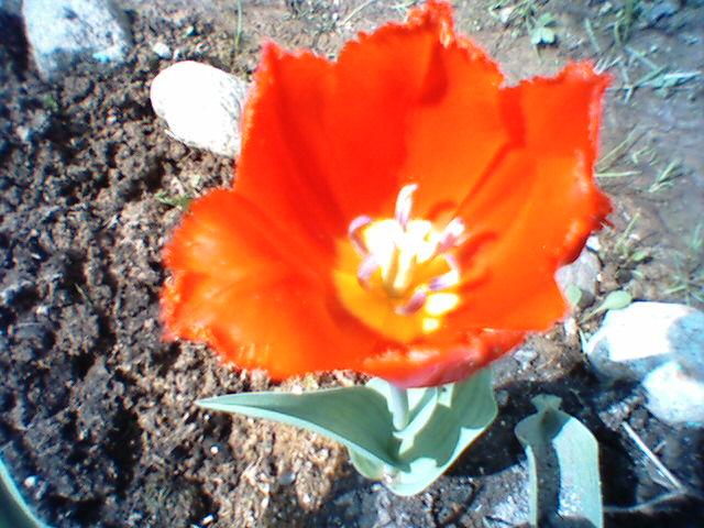 Бахромчатый тюльпан.