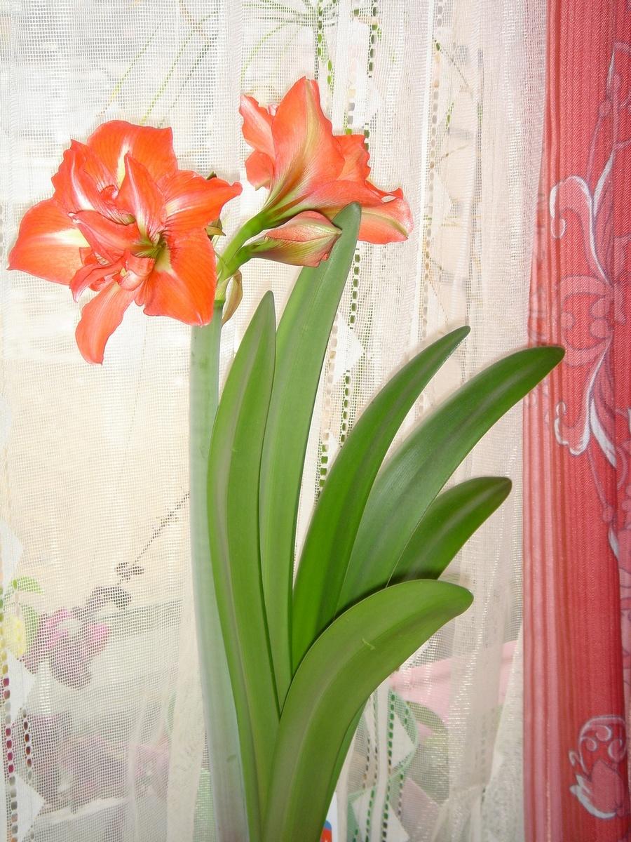 Амариллис. Растения комнатные