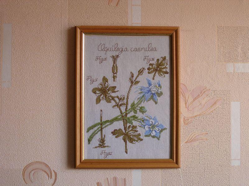Aquilegia caerulea. Растения (в основном цветы)