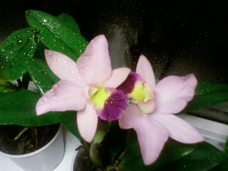катлея. Растения комнатные