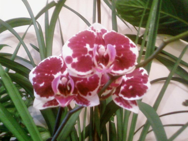 фаленопсис. Растения комнатные