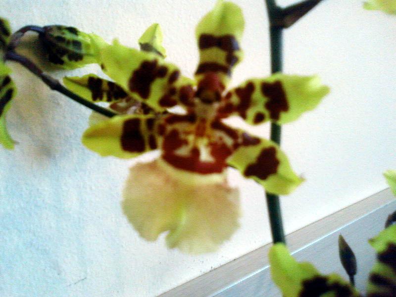 Odontoglossum Burrageara. Растения комнатные