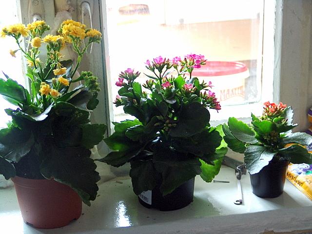Мои каланхоэ. Растения комнатные