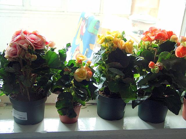 Мои бегонии. Растения комнатные