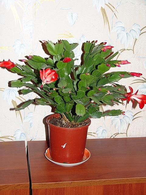 декабрист (рипсалидопсис:)))). Растения комнатные