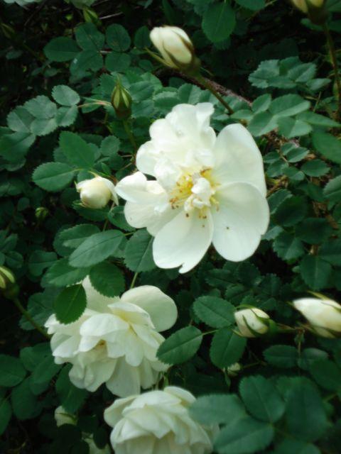 Белый шиповник. Цветы