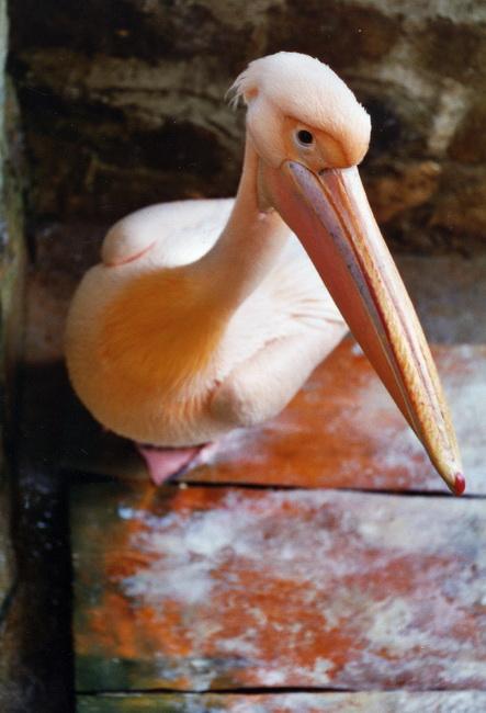 розовый пеликан. Ребята и зверята