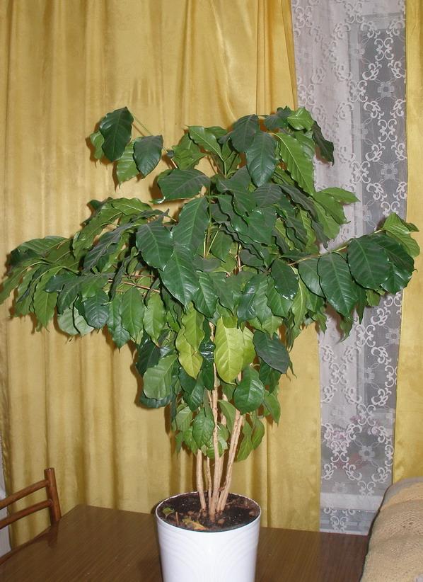 Кофейное дерево. Растения комнатные