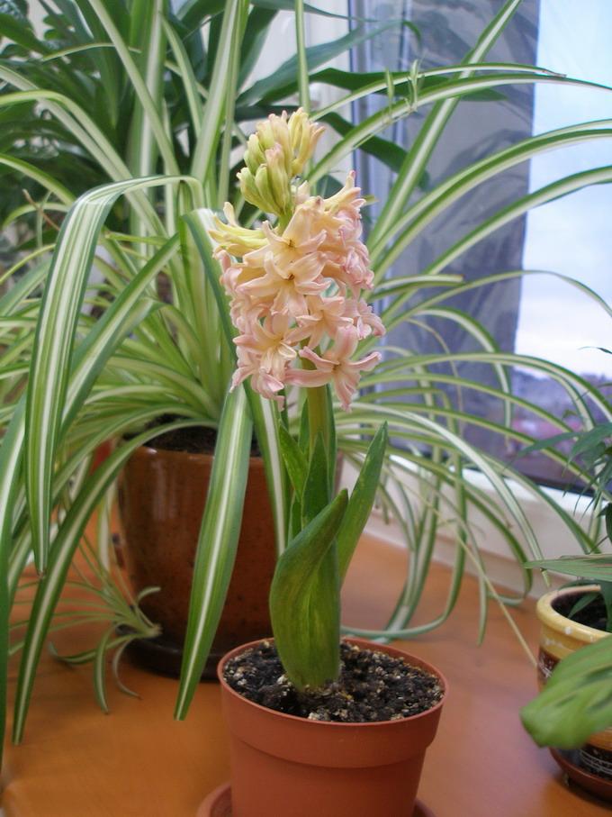 Гиацинт. Растения комнатные