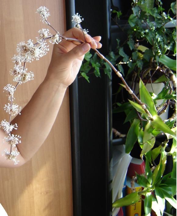 Золотой ус- цветение. Растения комнатные