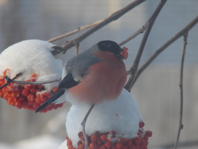 снегирь за окном. Закрытое голосование фотоконкурса 'Зима за окном'