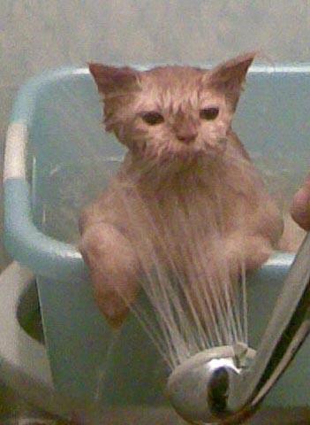 кто  это воды боится ?. Кошки
