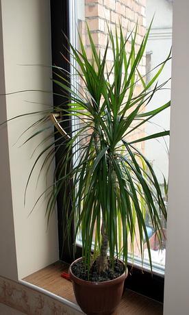 драцена. Растения комнатные