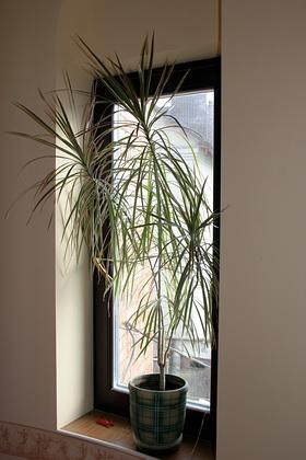 драценна. Растения комнатные