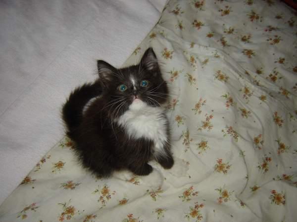Алиса (фото 1). Кошки
