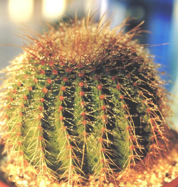 Eriocactus shumanianus. Кактусы и другие суккуленты