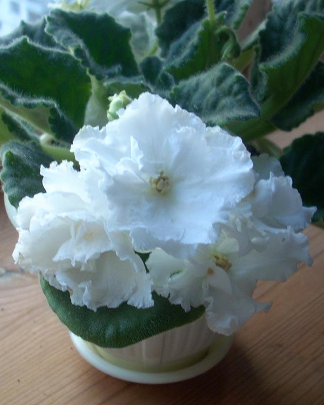 сенполия белая с крупными цветами. Цветы