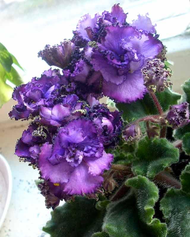 сенполия. Растения комнатные