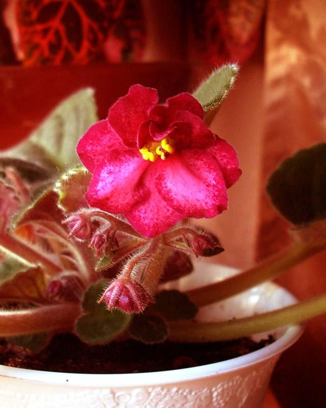Сенполия Sizzlin Romance. Растения комнатные