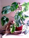 Монстера мраморная. Растения комнатные